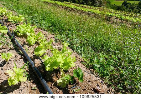 Vegetable Plot And Water Dripper System