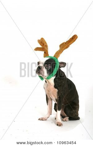 Boston Terrier With Horns