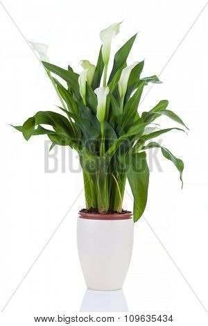 Calla lily in a pot, isolated on white with reflection