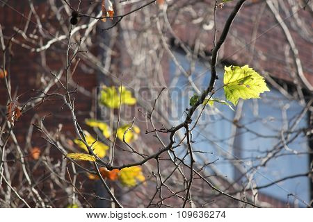 Winter leaves with building in background