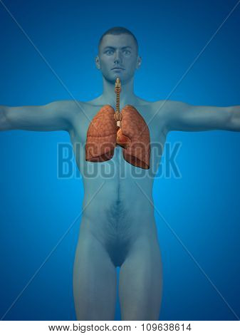 Concept or conceptual anatomical human or man 3D respiratory system on blue background