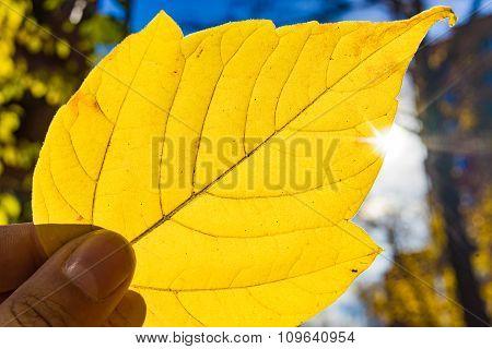 Holding Big Yellow Leaf