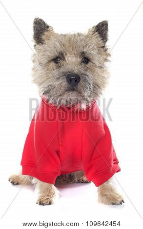 Dressed Cairn Terrier
