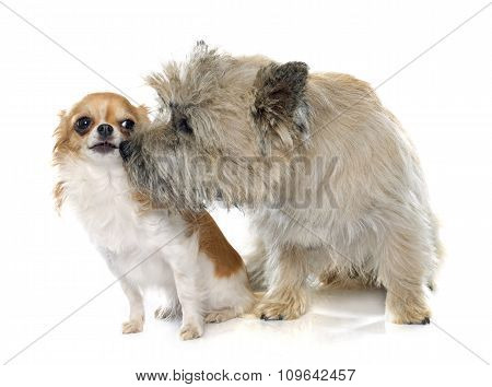 Purebred Cairn Terrier And Chihuahua