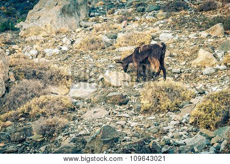 Greek Goat