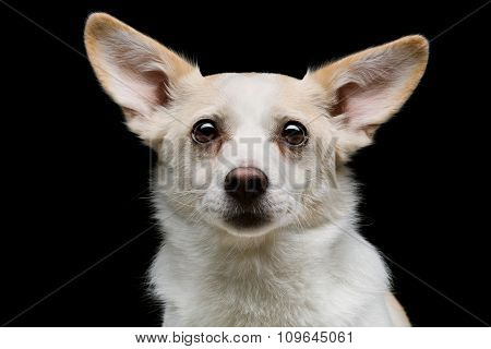 Metis dog over black background