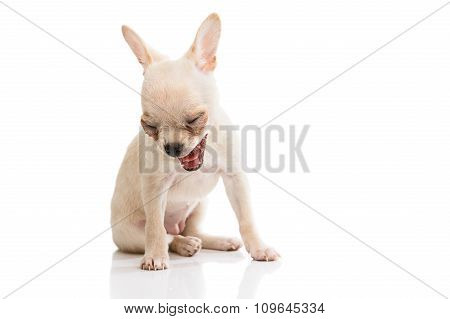 Yawning chihuahua over white background