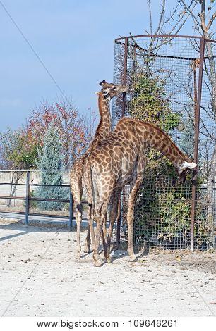 Big Beautiful Giraffe