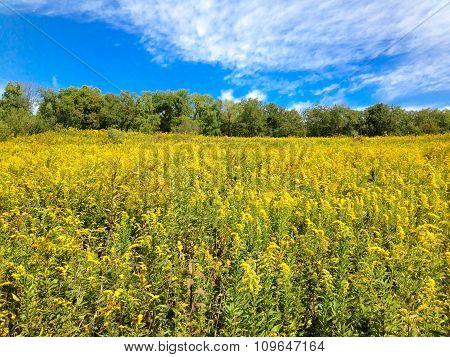 Goldenrod in field