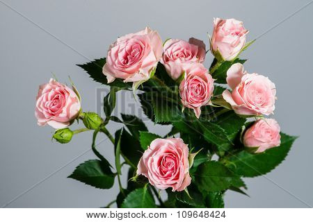 Closeup Beautiful Fresh Natural Pink Roses In Blossom And Flower-buds Isolated On Grey Background, H