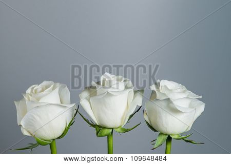 Closeup Beautiful White Rose On A Gray Background