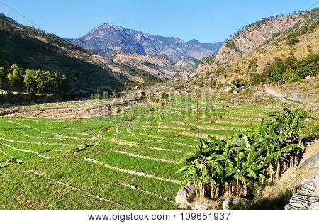 Green Field Of Rice In Western Nepal