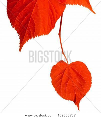Red Tilia Leafs On White Background