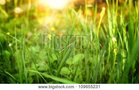 Grass With Insect On Natural Defocused Green Colored Background.