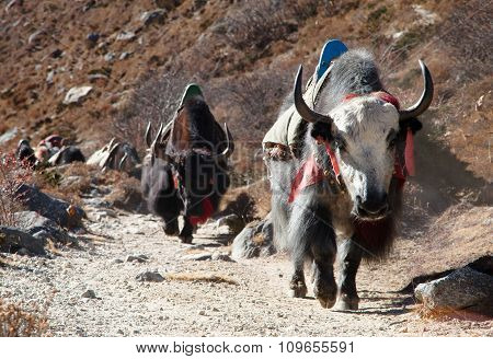 Caravan Of Yaks Going To Everest Base Camp