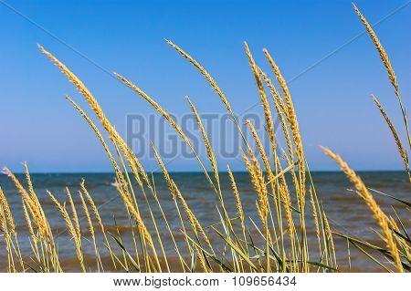 Ears Of Corn Growing On The Beach.