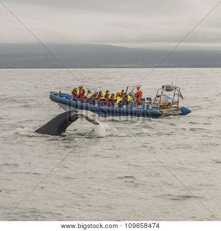 Whale Watching Safari With Humpback Whales At Iceland