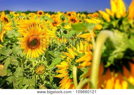 Sunflower Field Over Blue Sky And Bright Sun Lights.