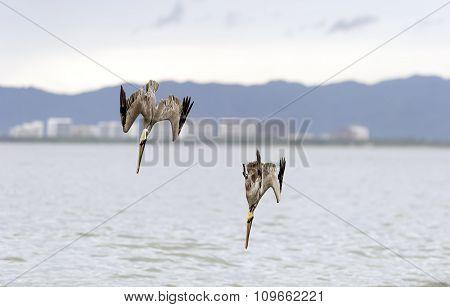 Pelican Hunting