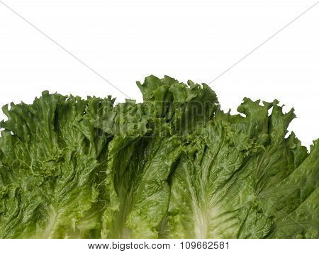Green Lettuce Bottom Border Isolated On White