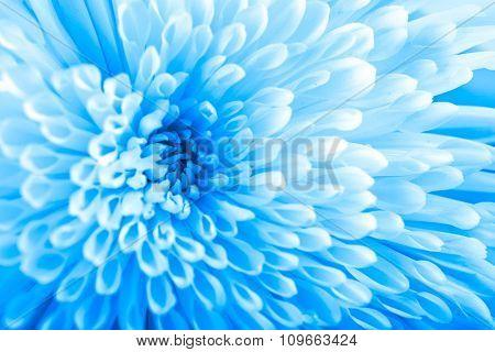 Beautiful blue chrysanthemum  flower, close-up
