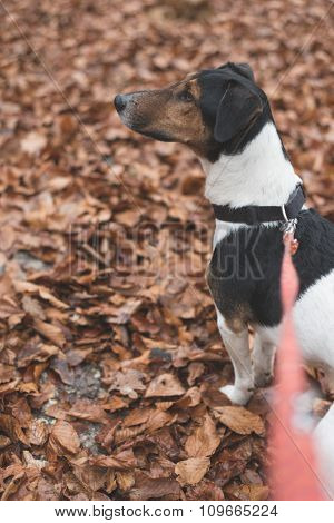 Cute Jack russell terrier on leash outdoor in the forest