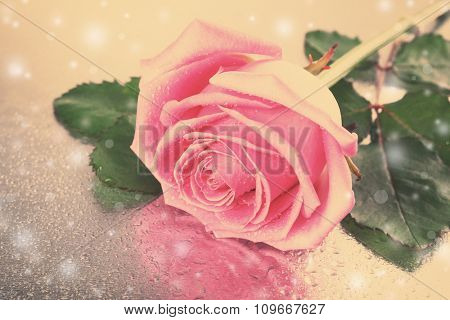 Beautiful pink rose on silver surface, close-up