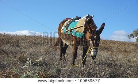 Small Traditional Donkey On A Field In Greece