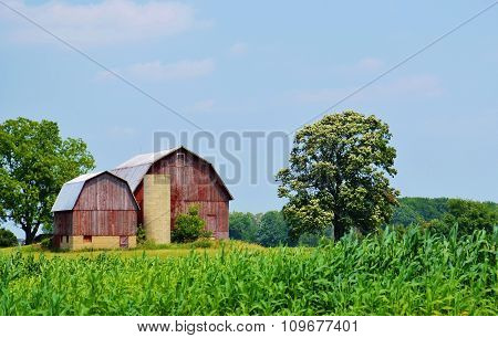 Vintage and weathered barn with silo and corn crop field