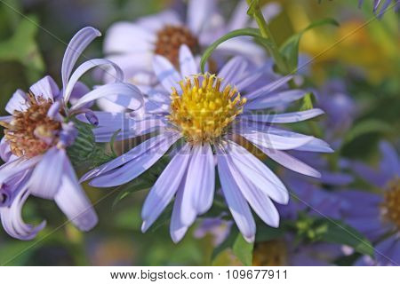Nice violet flower closeup in garden
