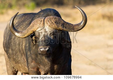 Cape Buffalo Standing In The Open Search For Possible Danger