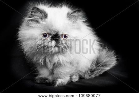 Young Blue Point Himalayan Persian Kitten