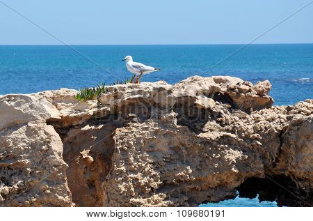 Silver Sea Gull: Indian Ocean, Cape Peron