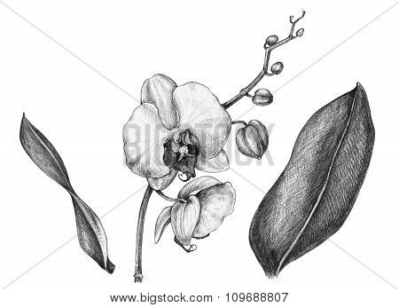 Branch Of Orchid With Leaves.