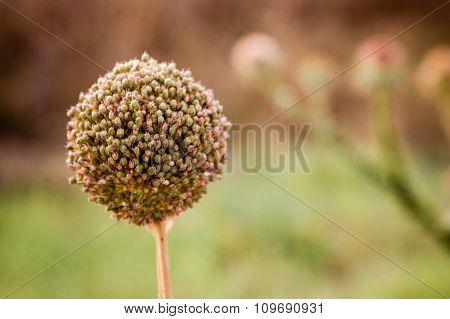 The Flower Of The Garlic, Allium Sativum In Nature