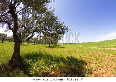 Field Cultivation Of Olives, Balsamic Vinegar