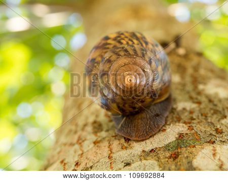 One Of Brown Snail Underside Shell Is Climbing Up The Tree.