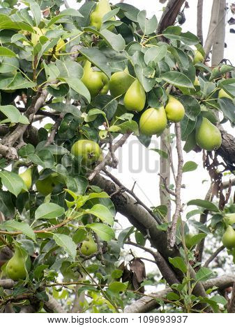tree branches full of green pears