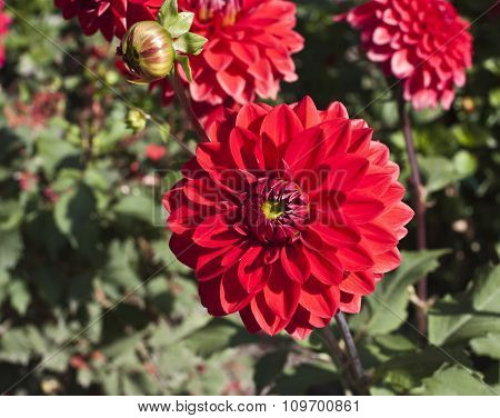 Photo Of Bright Red Dahlia On Blurred Natural Background