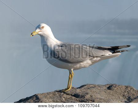 Seagull At Niagara Falls