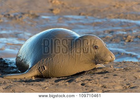 Atlantic Grey Seal (Halichoerus Grypus)