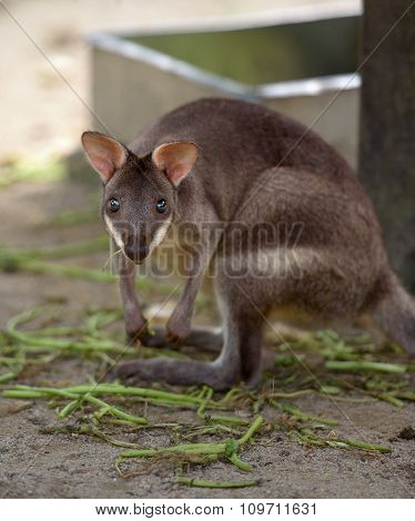 Red-legged Pademelon Stares At Camera