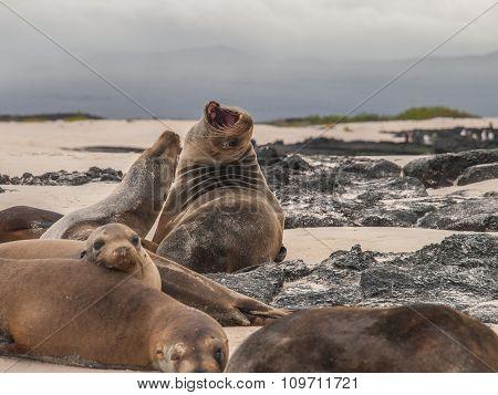Roaring Sea Lion