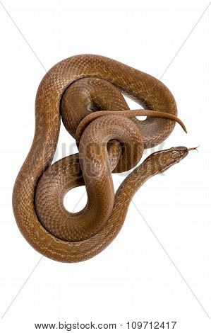 Cape House Snake (Boaedon Capensis)