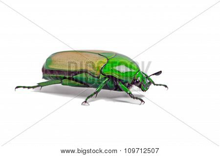African Jewel Beetle (Chlorocala Africana)