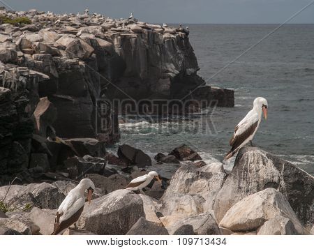 Blue Footed Boobies On Cliff