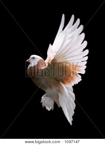 Colorful Pigeon In Flight