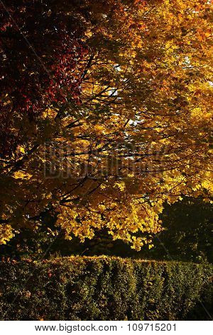 Beautiful Golden-leaved Trees And Hedge