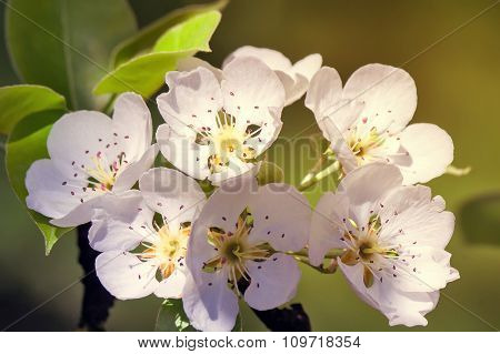 Twig Blossoming Pear On A Background Of Green Garden
