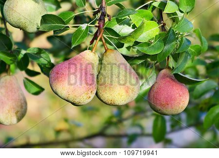 Pear tree. Fresh fruits